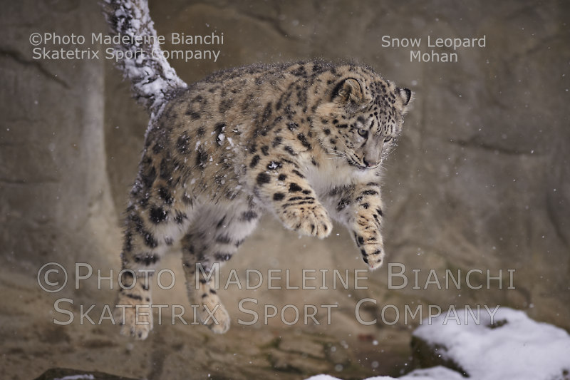 Snow Leopard Baby MOHAN - a child of nature and not a silly Pokémon!