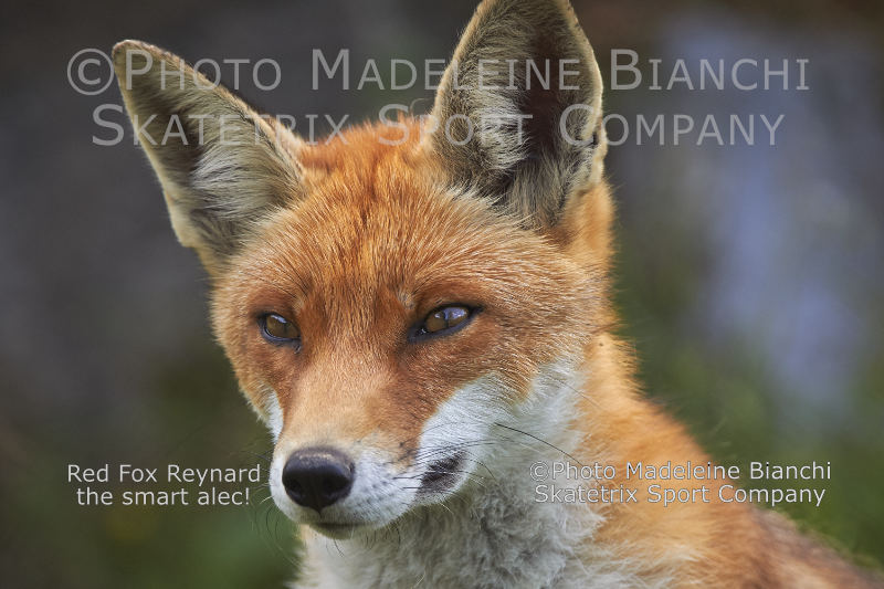 Red Fox REYNARD - surely much smarter than the Westerners!