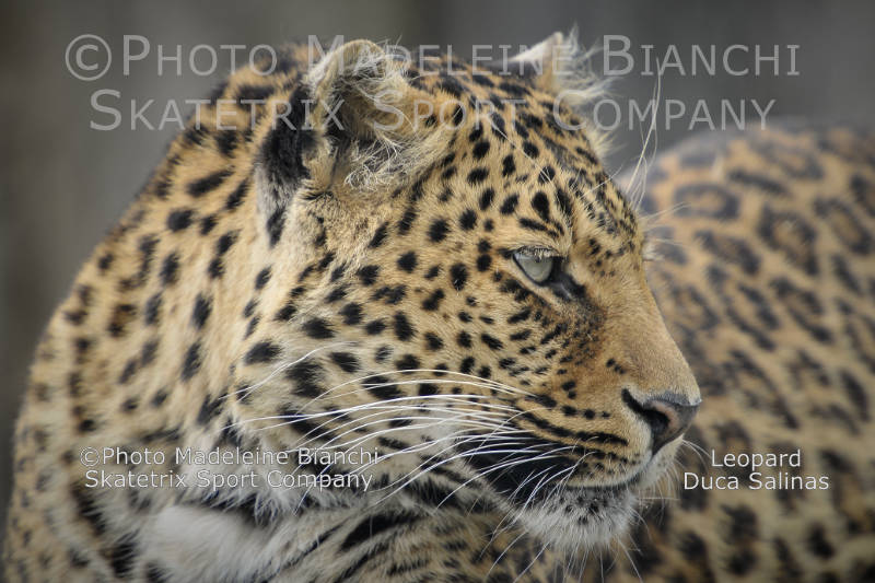 Leopard Male DUCA SALINAS - IL GATTOPARDO asks you a very hard question!