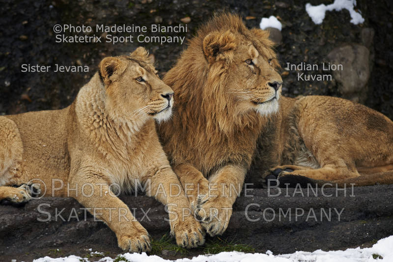Lion Siblings KAVAM and JEVANA - Lions know solidarity, Swiss not!