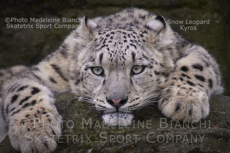 Snow Leopard KYROS - a rare treasure of the Himalayas!