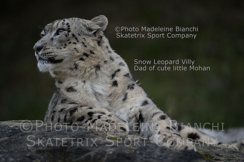 Snow Leopard VILLY - a brainy quote by DAVID ATTENBOROUGH!