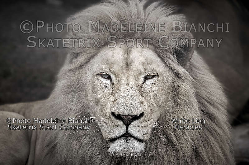 White Lion HERACLES - mankind is Darwin's nightmare!
