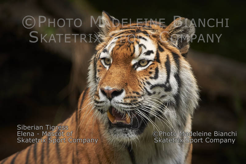 Siberian Tigress  ELENA - please support our struggle for survival!