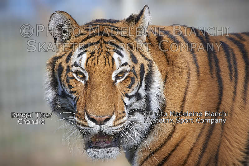 Bengal Tiger CHANDRA - I tell you what Solzhenitsyn revealed!!