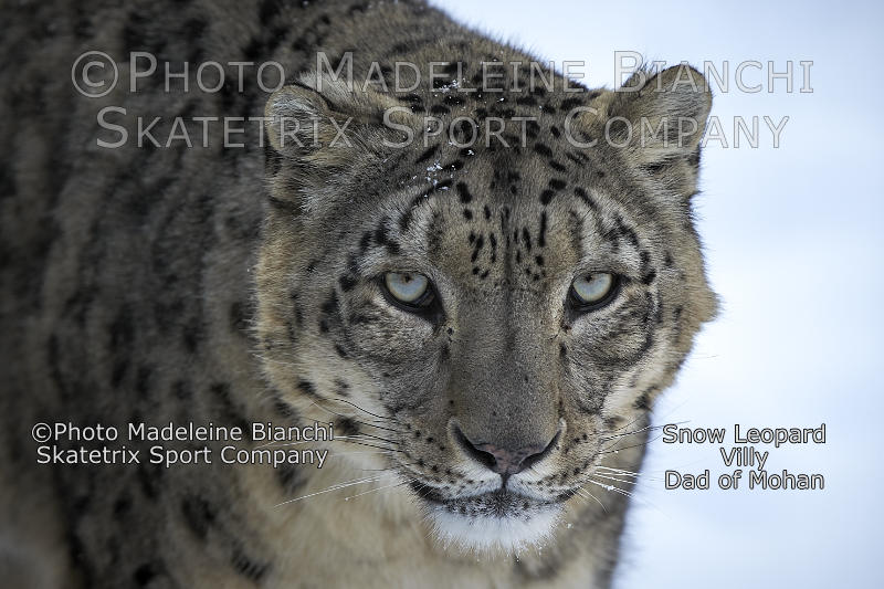 Snow Leopard VILLY - my bright eyes speak about the great miracle!