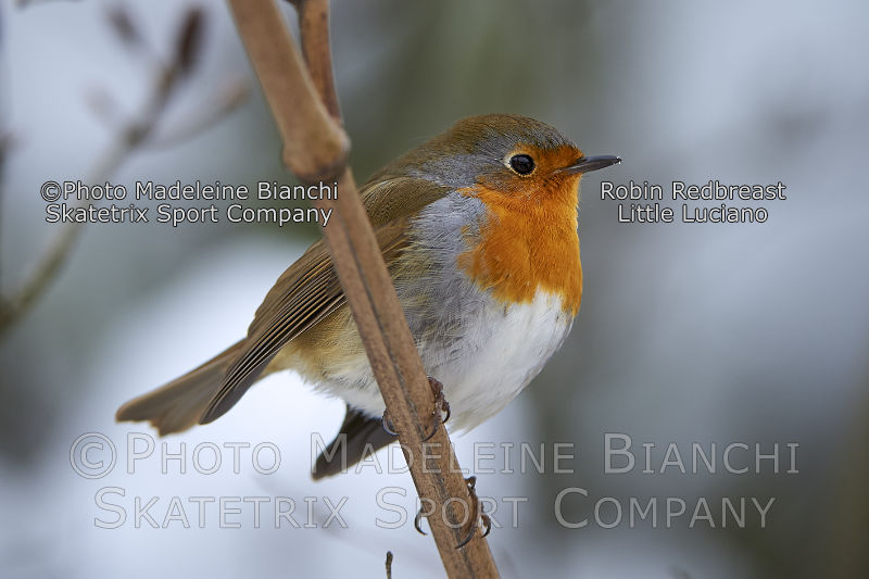 Robin Redbreast LITTLE LUCIANO - even a tiny singer brings sunshine into your life!