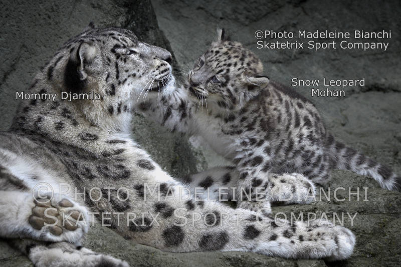 Little Snow Leopard Boy MOHAN and Mommy DJAMILA - We honor the author of «Les Pensées»!