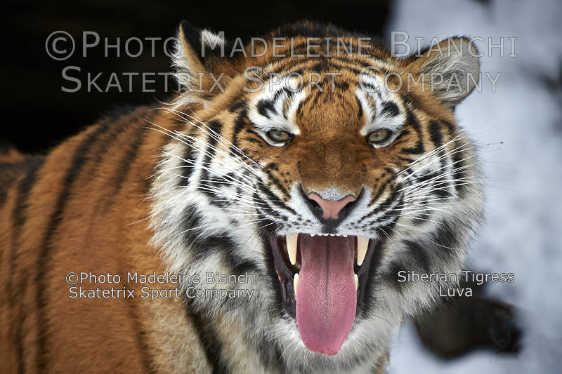 Siberian Tigress LUVA - Simonetta Sommaruga! Shut your trap!