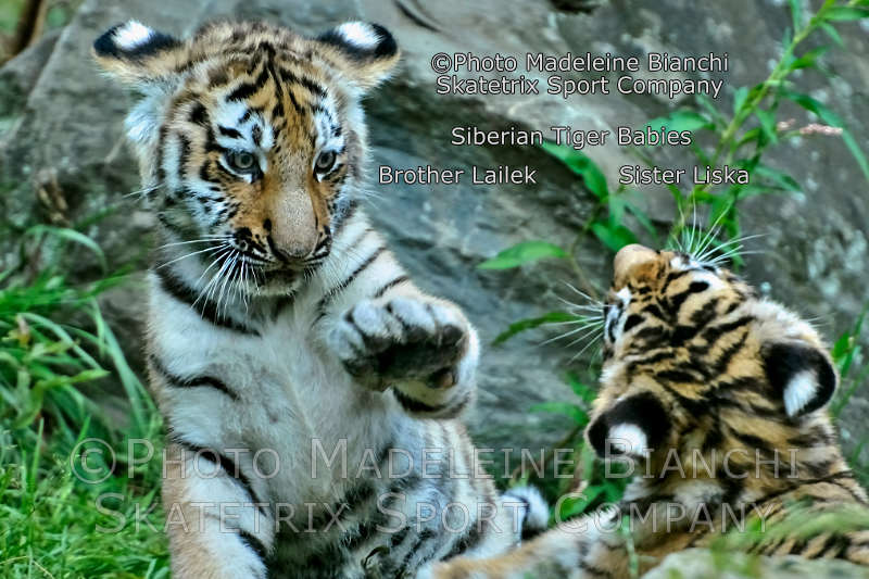 Siberian Tiger Kitties LISKA, LAILEK - today we live in the era of nitwits!