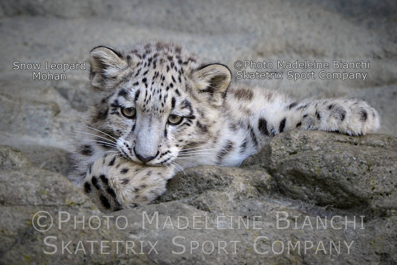 Little Snow Leopard MOHAN - Human Stupidity kills all life on this Planet!