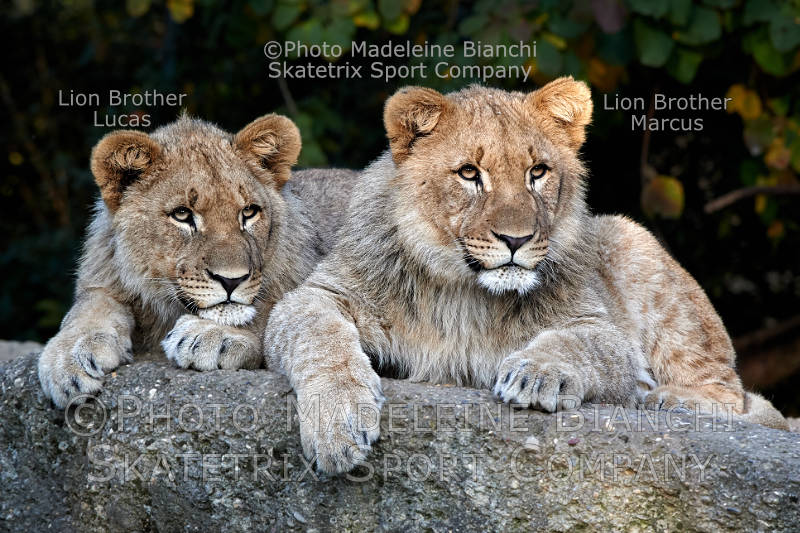 African Lion Brothers MARCUS and Lucas - An eyesore of European politics!