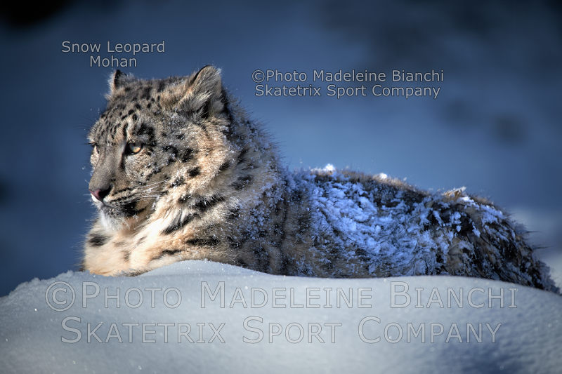 Little Snow Leopard MOHAN - Swiss Government! Shame on you!