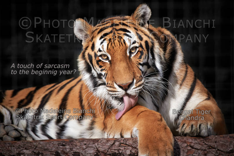 Bengal Tiger CHANDRA - A touch of sarcasm to the beginning year?
