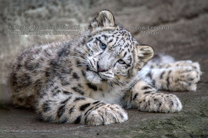 Little Snow Leopard MOHAN - Nitwits save the world with linguistic trash!