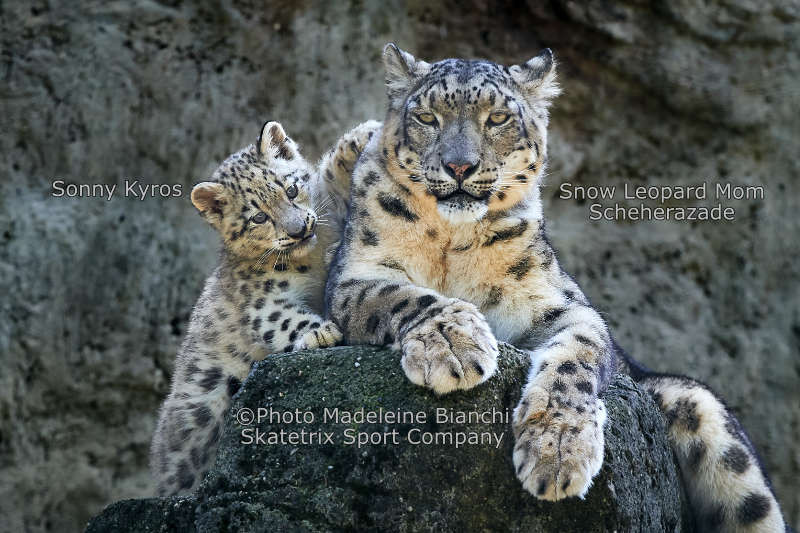 Snow Leopard KYROS - Mommy and I try to familiarize you with Francis!