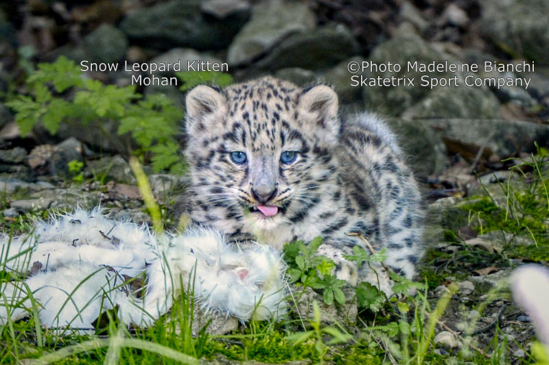 Little Snow Leopard MOHAN - Nature or quite Desperation? Your Choice!