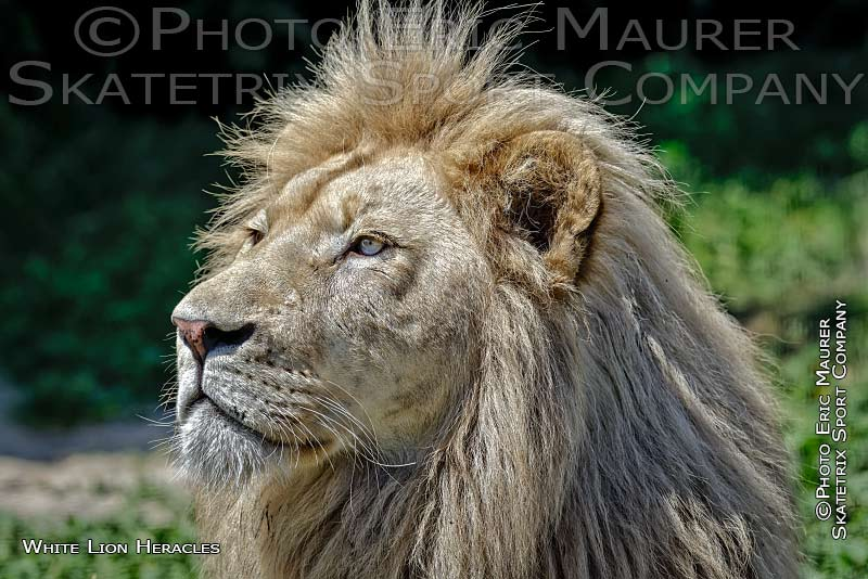 White Lion Male HERACLES