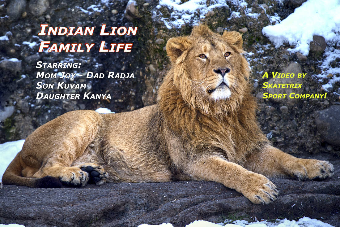 INDIAN LION - FAMILY LIFE | wildlife - big cat video clip