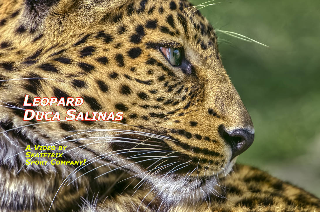 Video: LEOPARD DUCA SALINAS! Dedicated to the novel Il Gattopardo by Giuseppe Tomasi di Lampedusa. Dedicated to the movie Il Gattopardo by Luchino Visconti.
