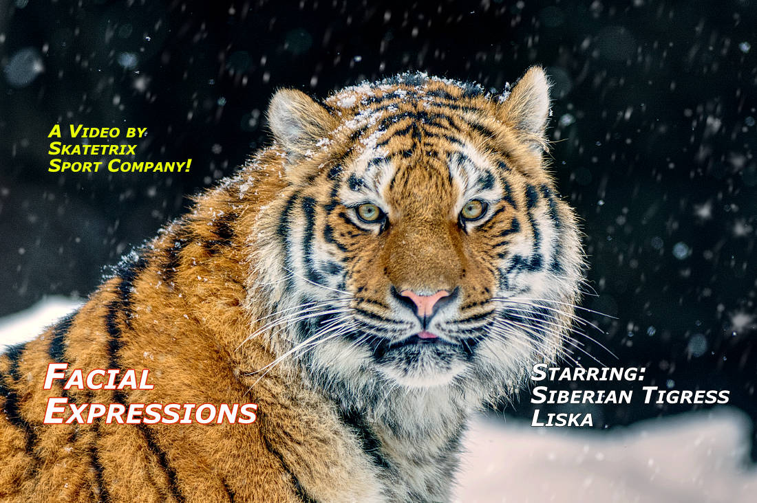 FACIAL EXPRESSIONS OF SIBERIAN TIGER | wildlife - big cat video clip
