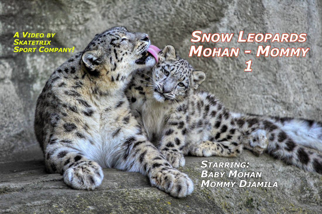Video: SNOW LEOPARD MOHAN 1! Cute tiny Snow Leopard Baby MOHAN keeps his Mommy DJAMILA busy! «My mother had a great deal of trouble with me, but I think she enjoyed it.» Mark Twain