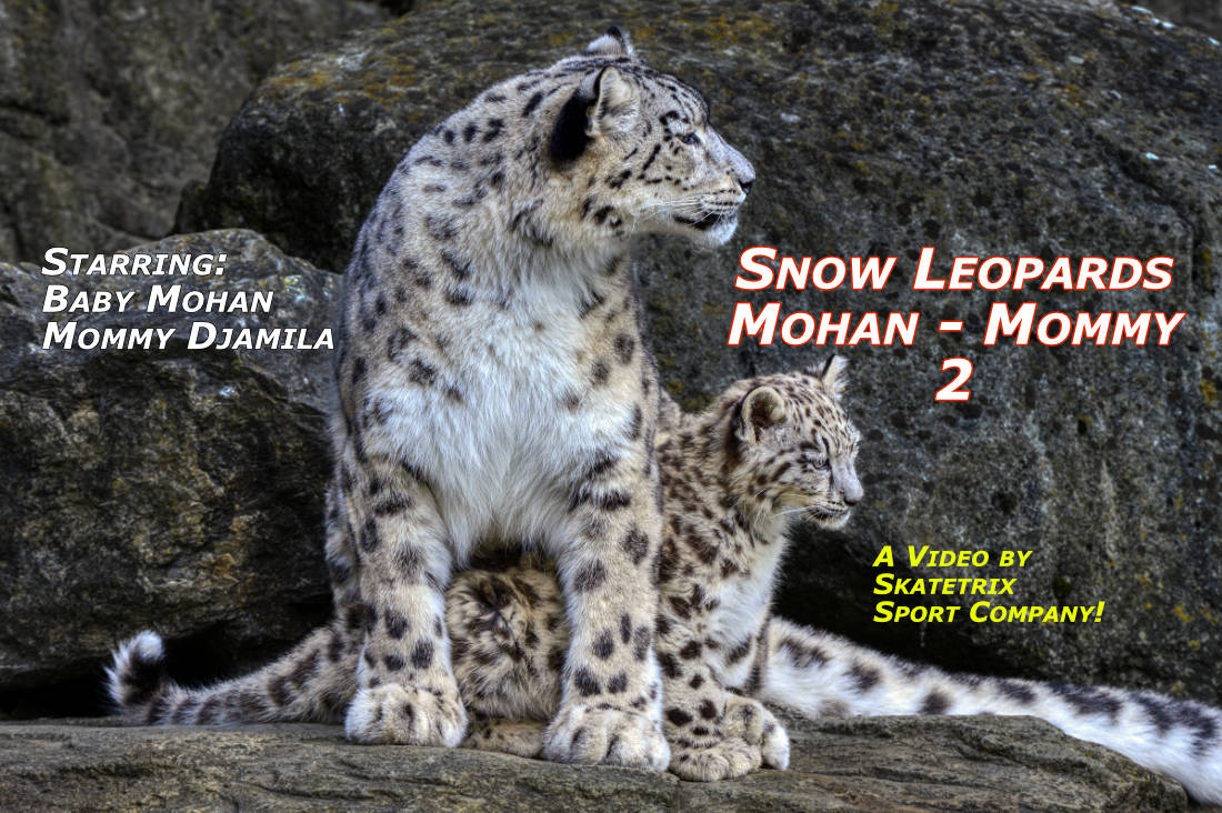 SNOW LEOPARD MOHAN 2 | wildlife - big cat video clip