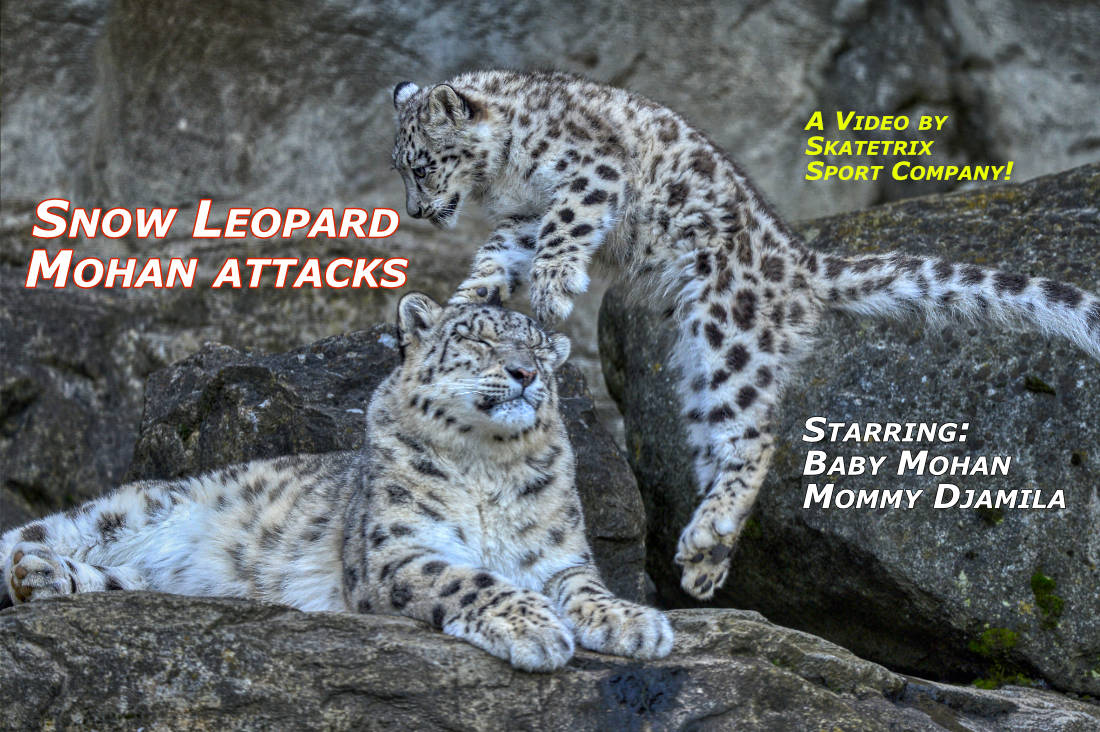 Video: SNOW LEOPARD MOHAN ATTACKS! Little Snow Leopard Boy MOHAN has caring parents: Snow Leopard Female DJAMILA and Male VILLY. Woohoo! I'm attacking my mommy! Just for fun of course!