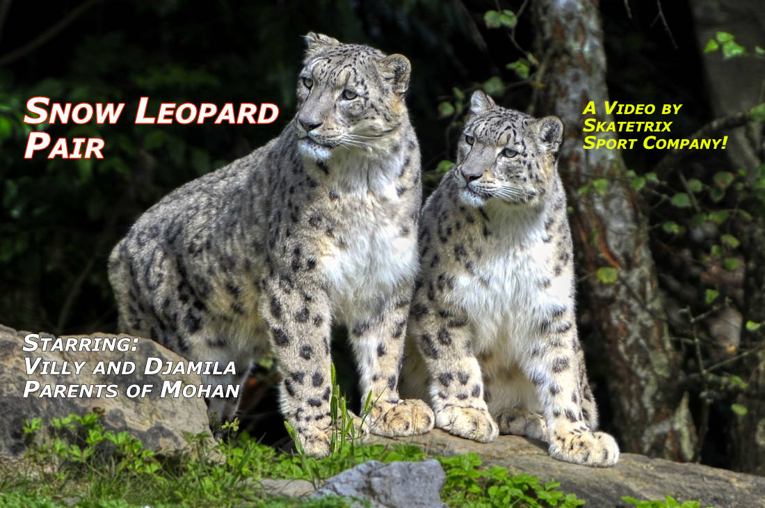 Video: SNOW LEOPARD PAIR! We are the Parents of Snow Leopard Girls AMELY and AMANDA and of the famous Snow Leopard Boy MOHAN!
