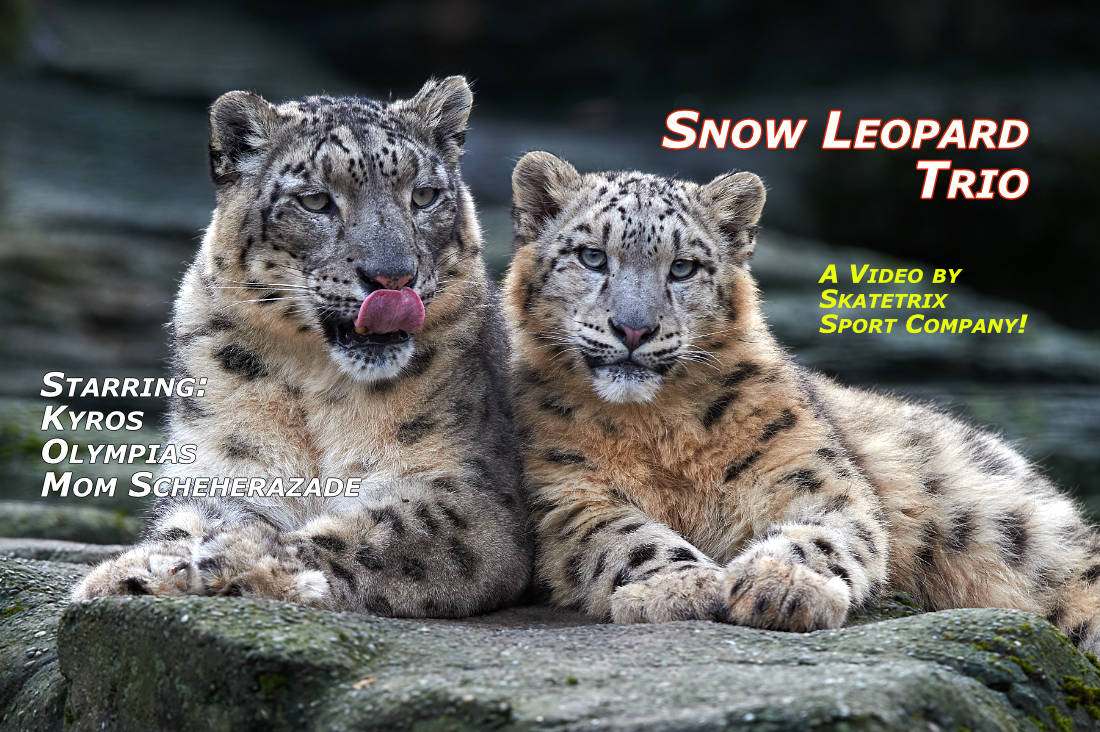 Video: SNOW LEOPARD TRIO! May I introduce MYSELF and my FAMILY in VIDEO «SNOW LEOPARD TRIO»? I'm the well known little Snow Leopard KYROS!
