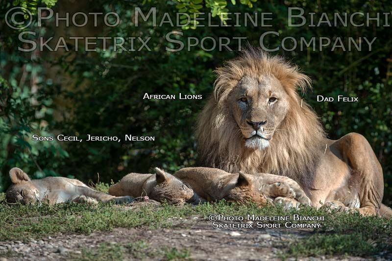 African Lion Male FELIX - Daddy of three Brothers CECIL, JERICHO and NELSON!