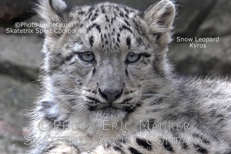 Little Snow Leopard KYROS - The little Mountain King!