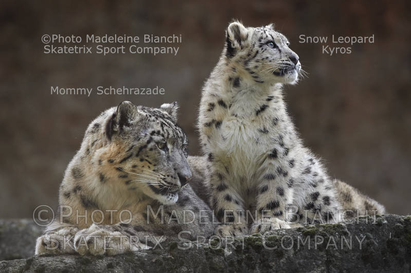 Snow Leopard Female SCHEHERAZADE - Mommy of KYROS and his Sisters OLYMPIAS and ROXANE!