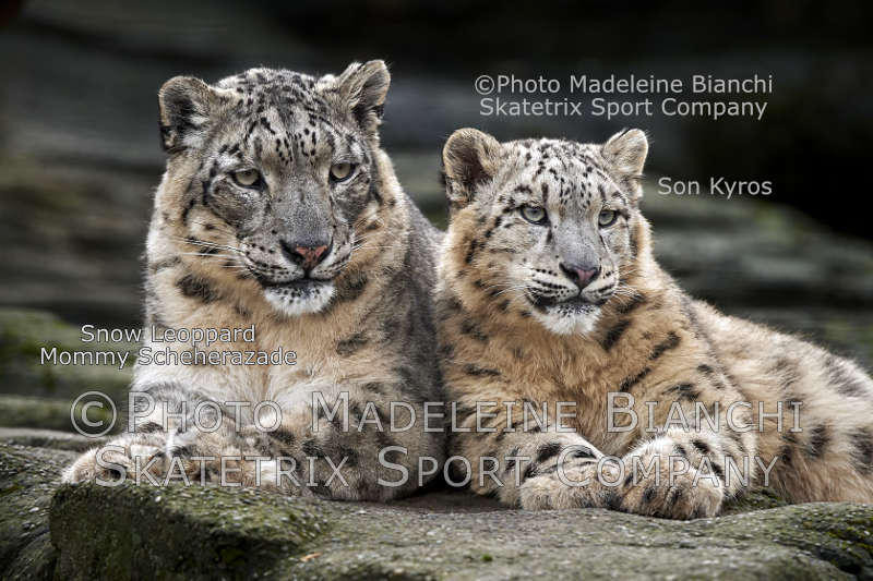 Little Snow Leopard KYROS - Mommy SCHEHERAZADE!