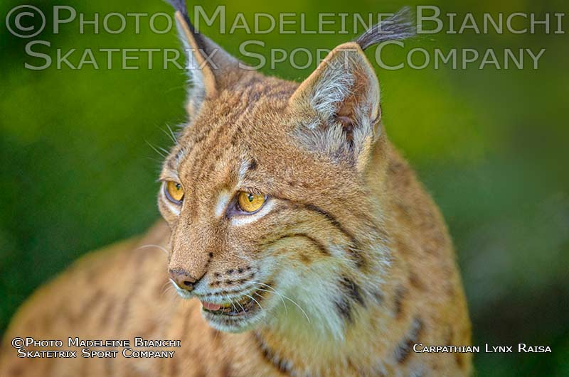 Carpathian Lynx RAISA