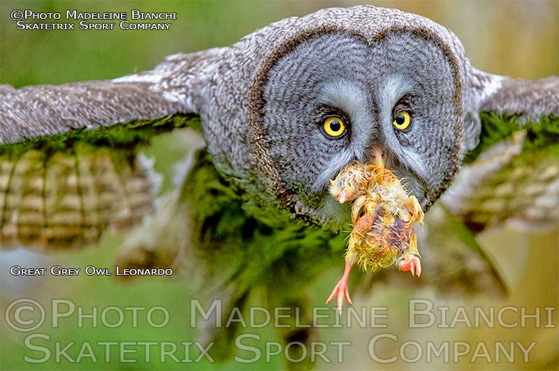 Great Grey Owl LEONARDO