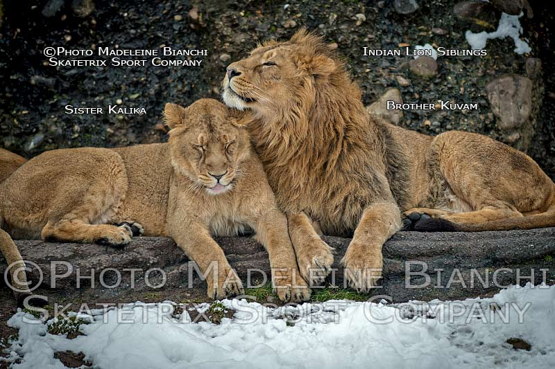 INDIAN LION SIBLINGS KALIKA - KUVAM