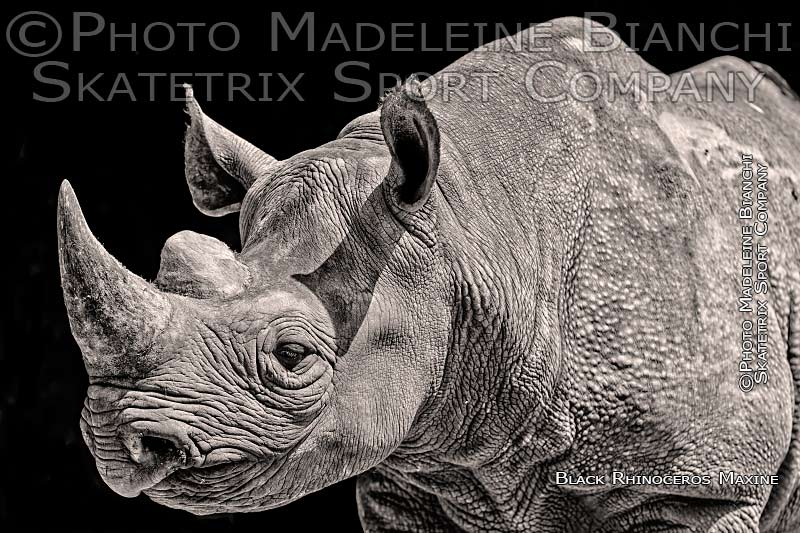 Black Rhinoceros MAXINE