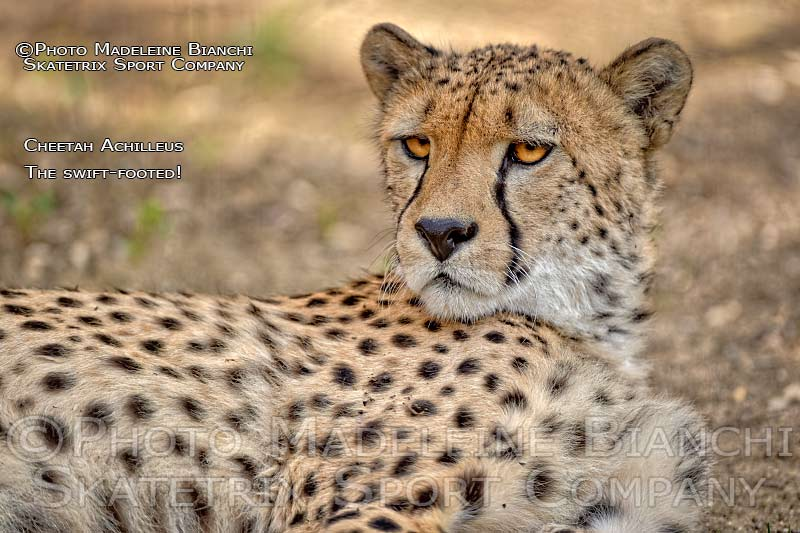 Cheetah ACHILLEUS - the swift-footed