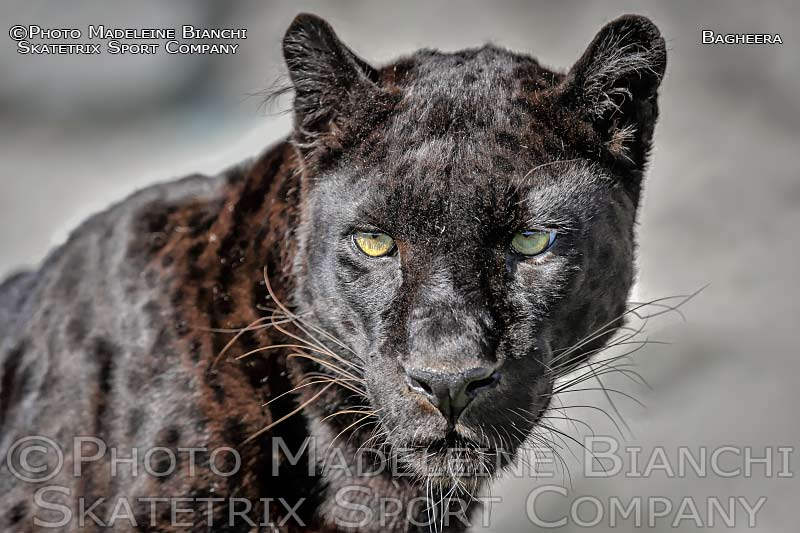Black Panther Male BAGHEERA