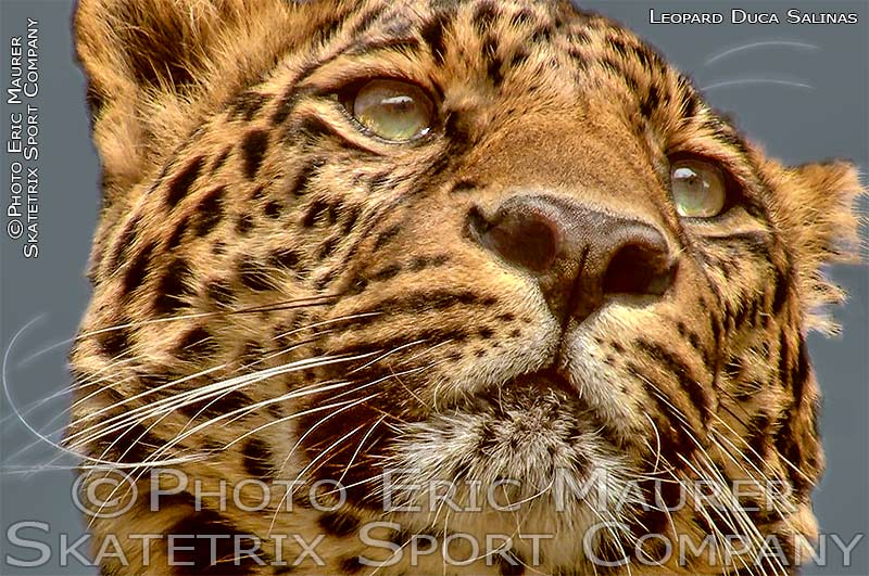 Leopard Male PADDY