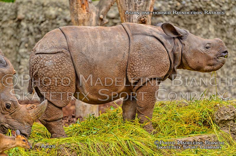 Asian One Horned Rhinoceros RATAXES