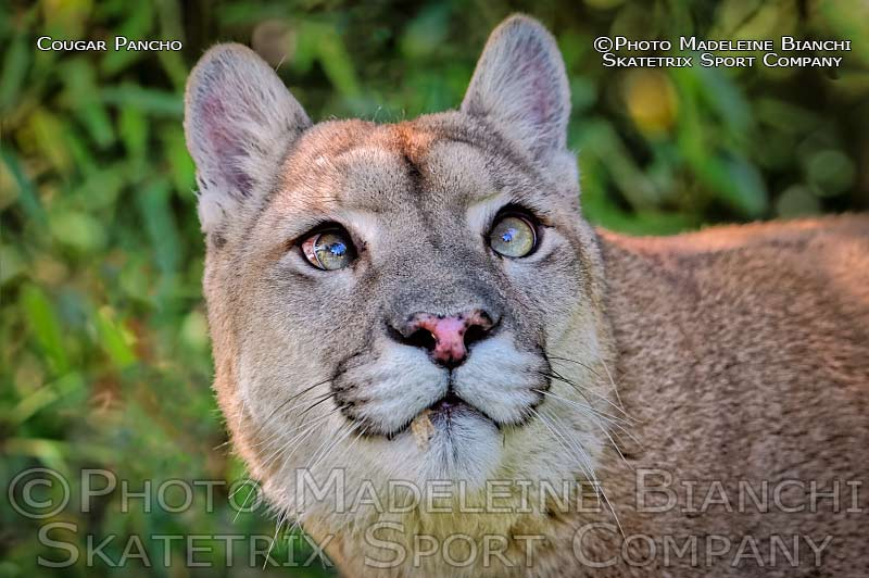 Mountain Lion Male PANCHO